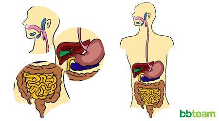 Фазите на храненето - храносмилане и усвояване