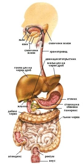 Храносмилателна система