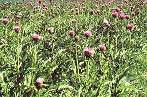 Левзея (Leuzea Carthamoides) - растителният източник на екдистерон