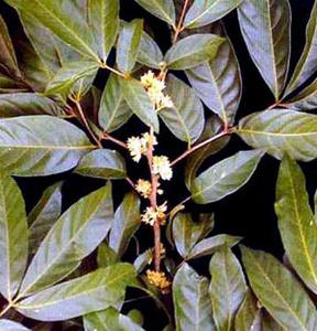 Потентно дърво (Muira Puama)