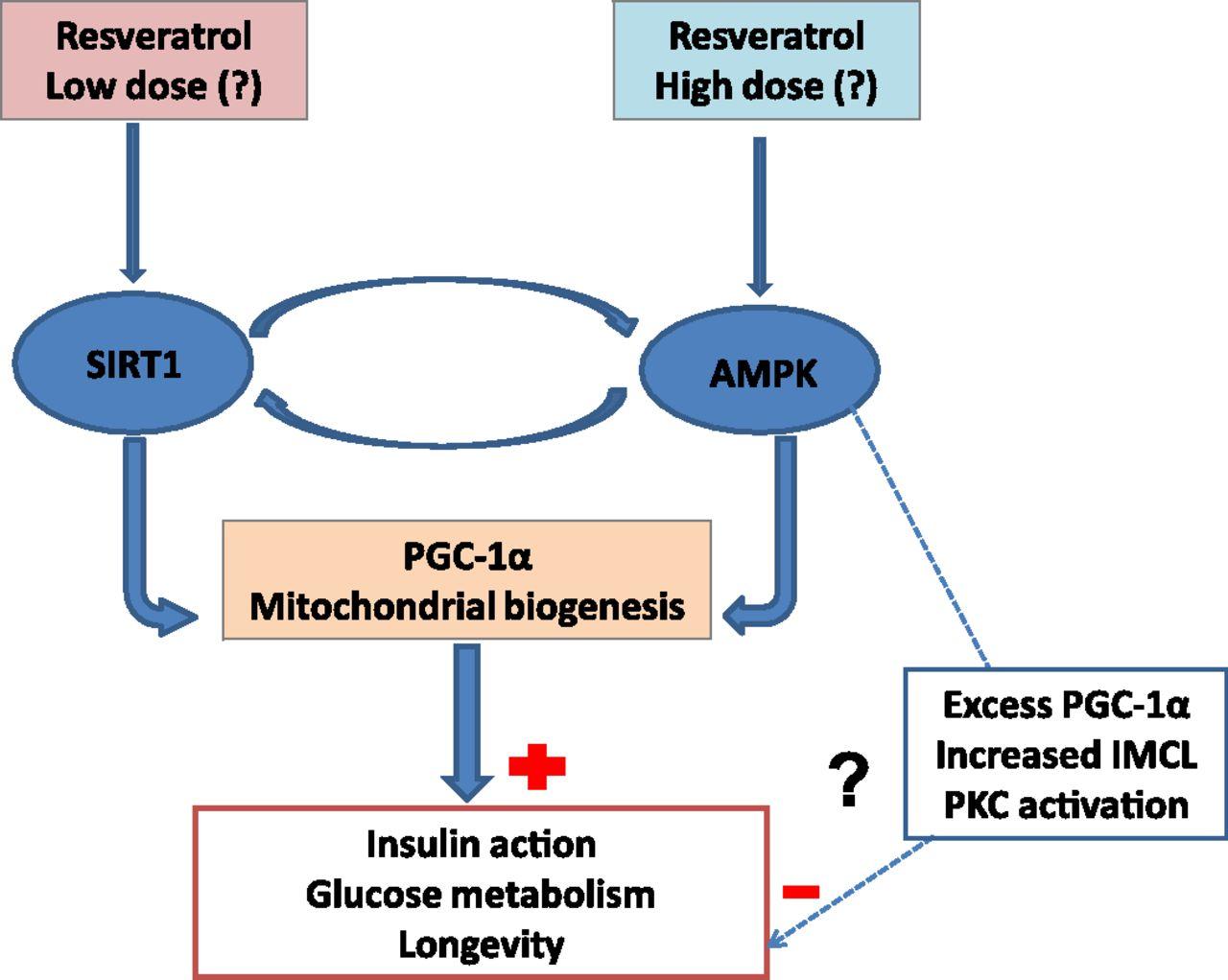Влияението на ресвератролът върху инсулиновата чувствителност