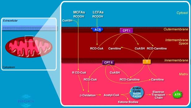 Метаболизъм на мазнините