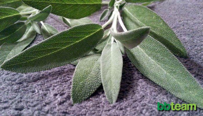 Градински чай (салвия), Salvia officinalis