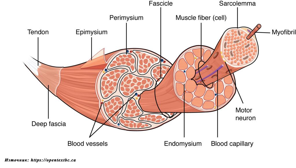Мускулна хипертрофия - структура на мускулно влакно