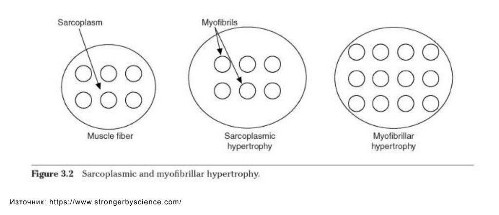 Мускулна хипертрофия - саркоплазмена хипертрофия