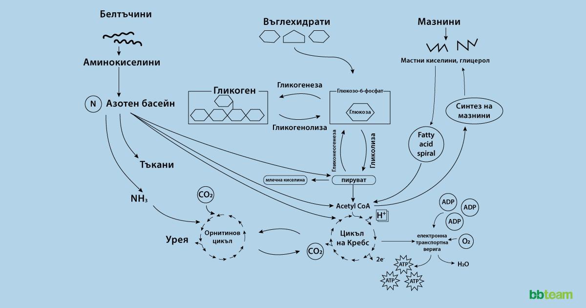 АТФ - енергийната валута на клетките