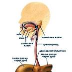 Кратка функционална анатомия на храносмилателната система