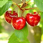 Череши - червеният вкус на пролетта