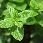 Мента - познато растение с много приложения