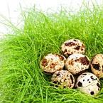 Яйца от пъдпъдък - дребни, но с безценно съдържание