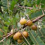 Екстракт от Амла (Phyllanthus emblica)