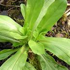 Царевична салата (Corn salad)