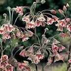 Самардала (Allium siculum / Nectaroscordum siculum ssp.bulgaricum)