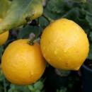 Лимонена кора