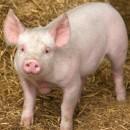 Свинско