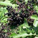 Плод от бъз