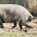 Свинска