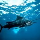Риба меч