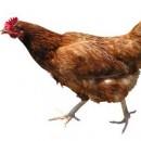 Пилешко