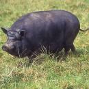 Свински