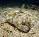 Плоска риба